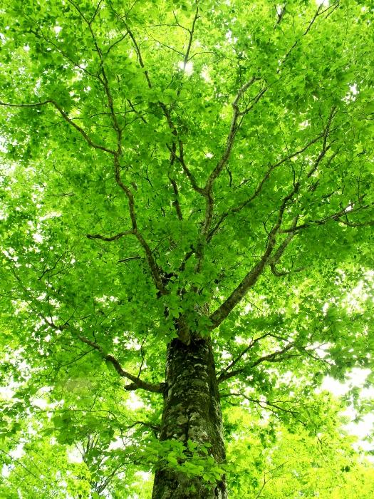 """信州鬼無里の原生林で出会った、""""Queen of the Forest""""と呼ばれるぶなの木。"""