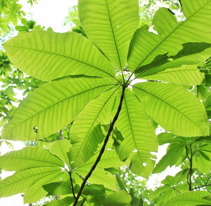 空に向かって、輪を描くように大きな葉っぱを広げる、朴の幼木。