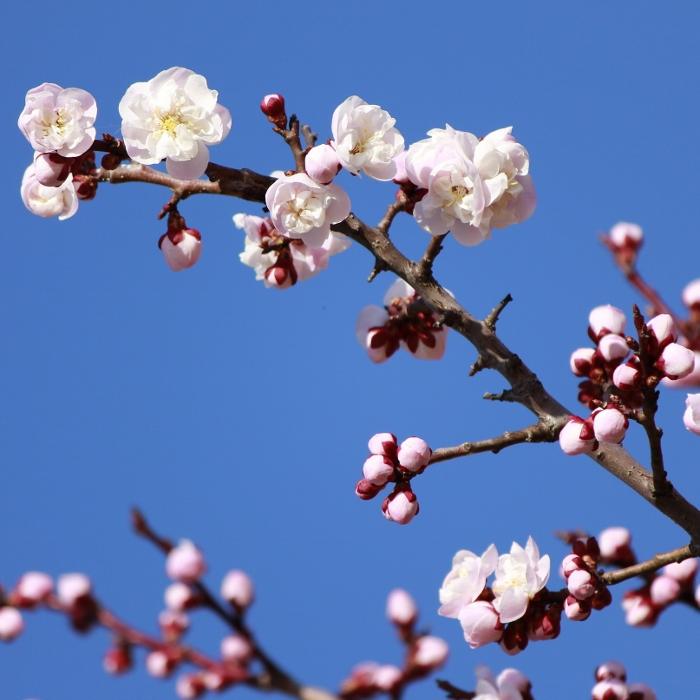 厳寒の季節を耐え、春に先がけて咲く梅の花は、小諸市の花。