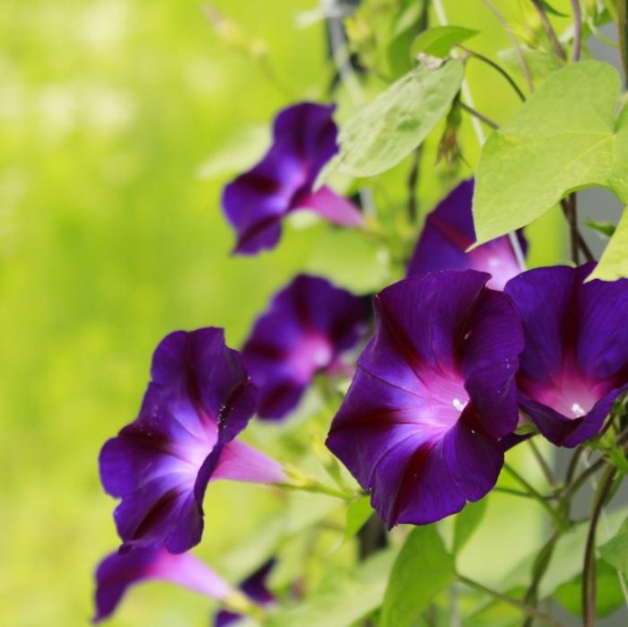 はれやかな空に映える紫色は、信州小諸の気候ならでは!